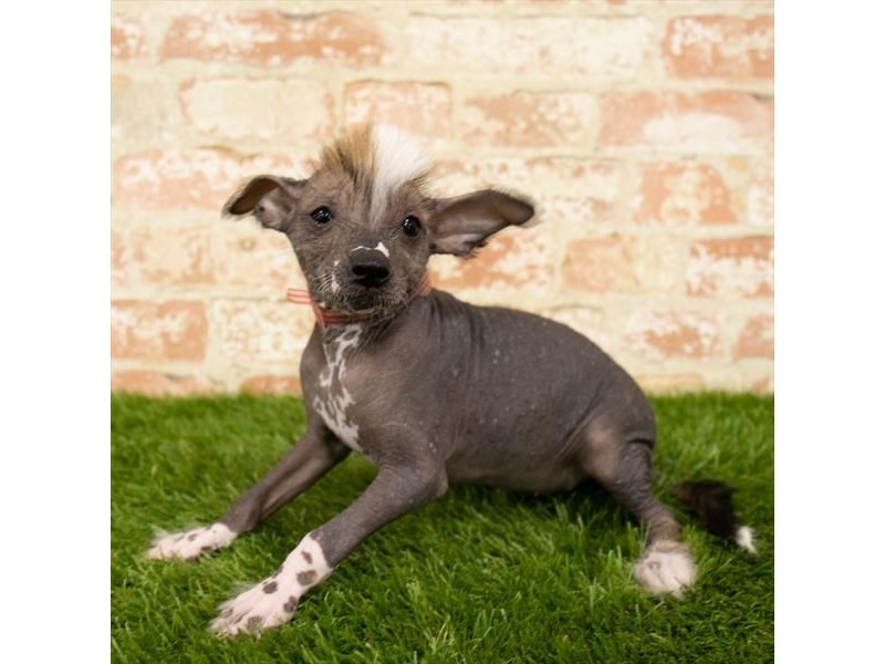 Chinese Crested-Male-Black-2746350-Petland Fairfield