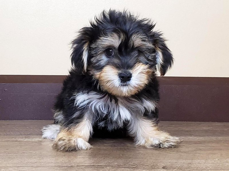 Yorkshire Terrier-Male-black and tan-2762359-Petland Fairfield