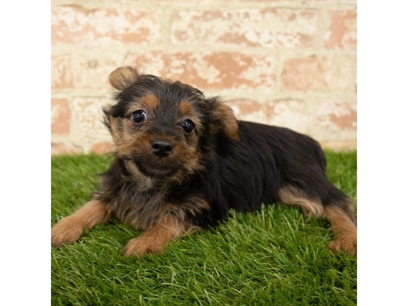 Yorkshire Terrier-Male-Black / Tan-2746348-Petland Fairfield