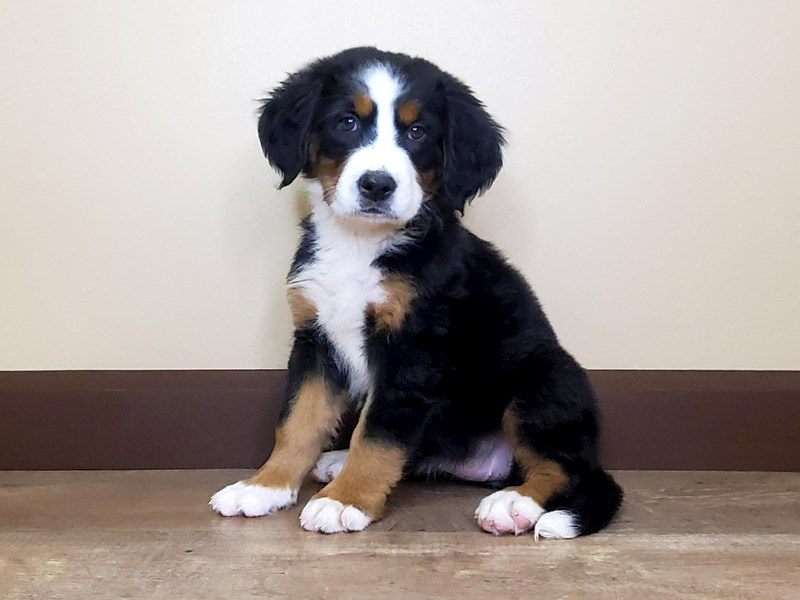 Bernese Mountain Dog-Female-BLACK/TAN/WHITE-2803655-Petland Fairfield