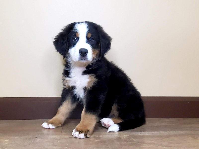 Bernese Mountain Dog-Male-BLACK/TAN/WHITE-2803633-Petland Fairfield