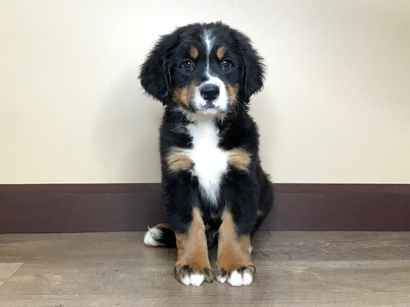 Bernese Mountain Dog-Male-BLACK/TAN/WHITE-2811076-Petland Fairfield
