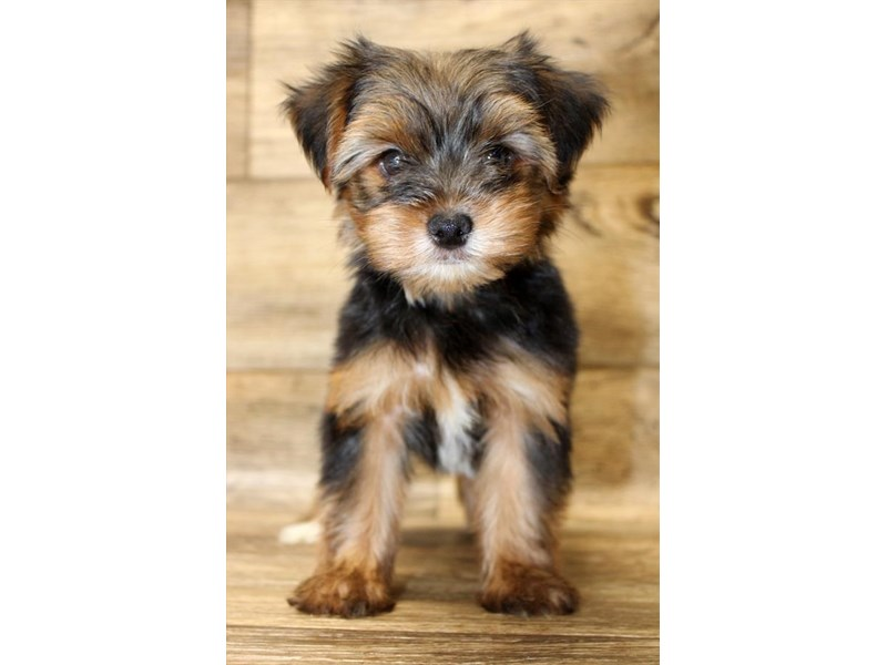 Yorkshire Terrier-Male-Black / Tan-2826500-Petland Fairfield