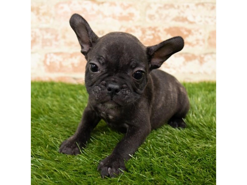 French Bulldog-Male-Brindle-2856379-Petland Fairfield