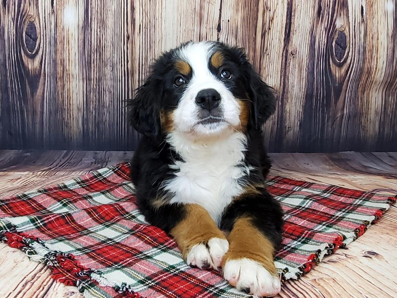 Bernese Mountain Dog-Female-Black Tri-2904356-Petland Fairfield