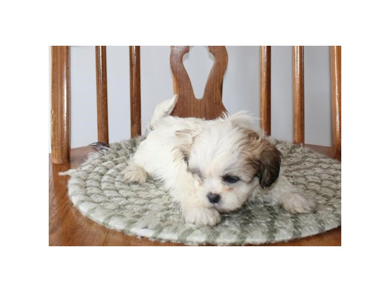 Shih Tzu-Male-Brown / White-2943019-Petland Fairfield