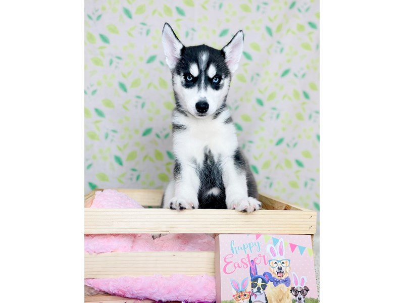 Siberian Husky-DOG-Female-Black / White-3026642-Petland Fairfield