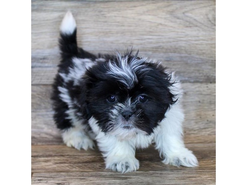 Shih Tzu-Female-Black / White-3048508-Petland Fairfield