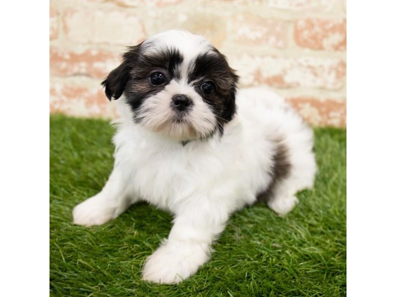Shih Tzu-Female-Brindle / White-3024759-Petland Fairfield