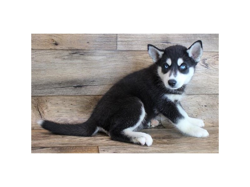 Siberian Husky-Female-Black / White-3101126-Petland Fairfield